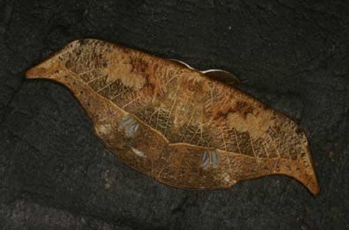 Canucha specularis1