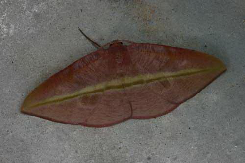 Drepaninae