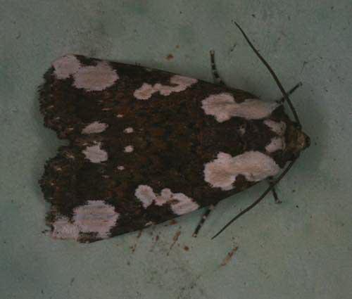Horithyatira sp