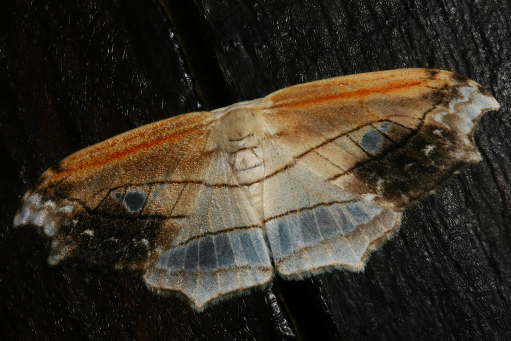 Leucobrepsis sp