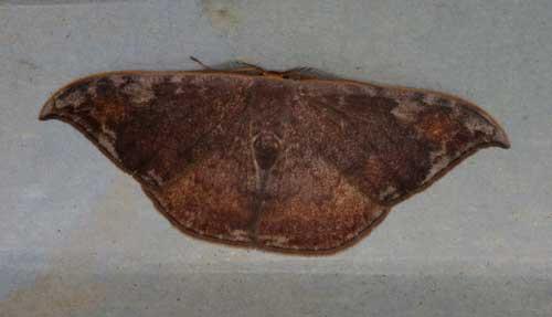 Paralbara watsoni