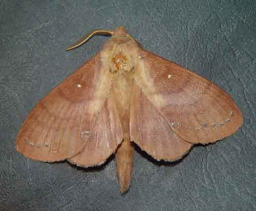 Kunugia latipennis