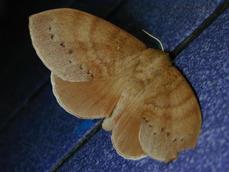 Dendrolimus grisea