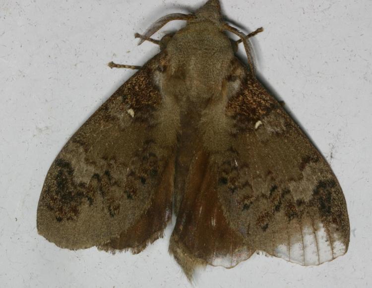 Kunugia florimaculata