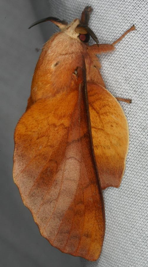 Euthrix laeta variant?