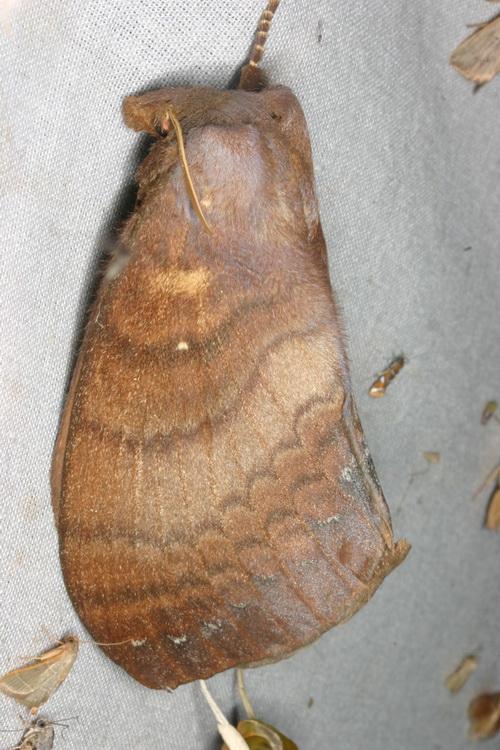 Lebeda nobilis