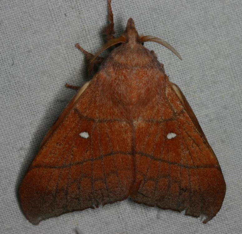 Odonestis bheroba