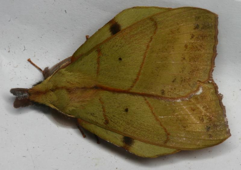Radhica elisabethae