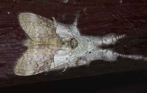 Calliteara sp possibly horsfieldii