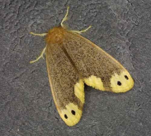 Euproctis bipunctapex