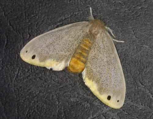 Euproctis magna
