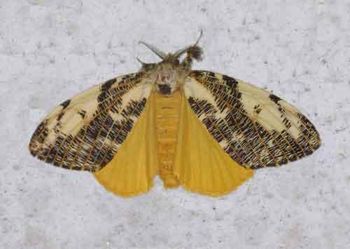 Locharna strigipennis 1