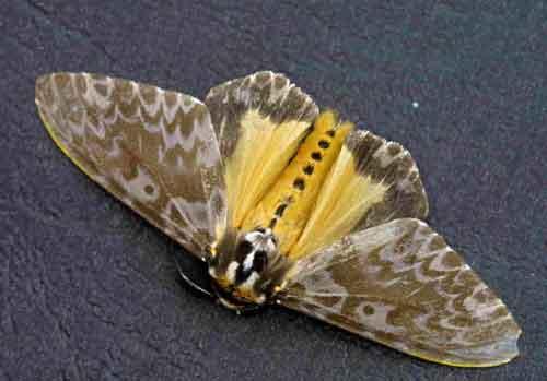 Lymantria atemeles