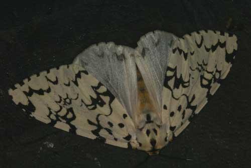 Lymantria concolor f