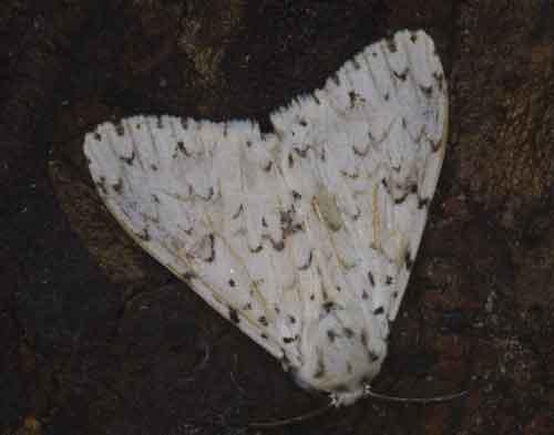 Lymantria marginalis