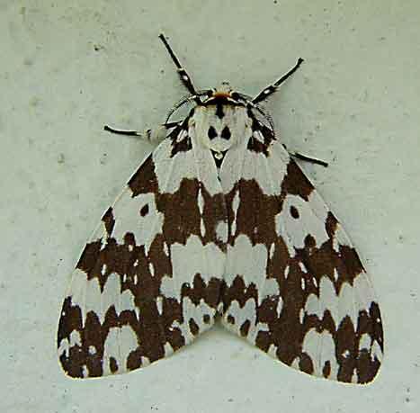 Lymantria marginata
