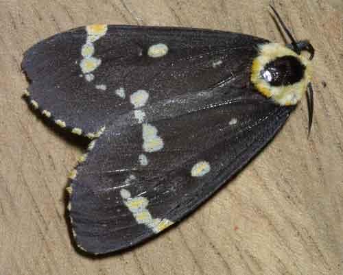 Lymantria semicincta f