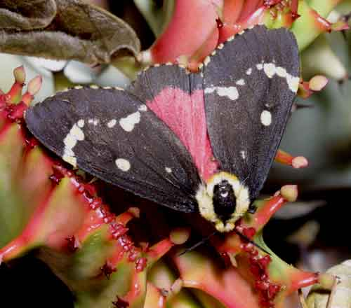 Lymantria semicincta f 1