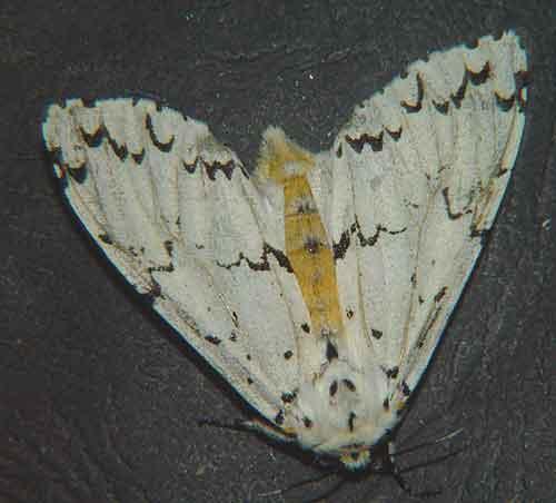 Lymantria sp f near todara
