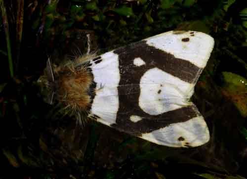 Numenes species, probably patrana