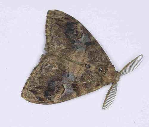 Orgyia postica1