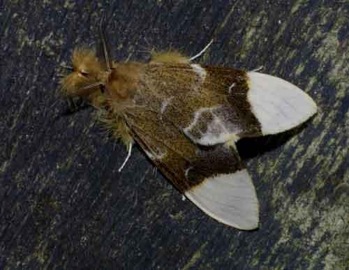 Pida species probably postalba