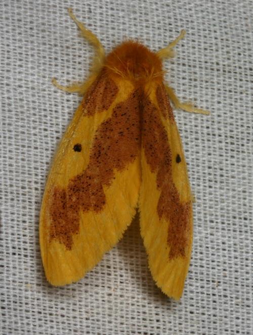 Euproctis sp
