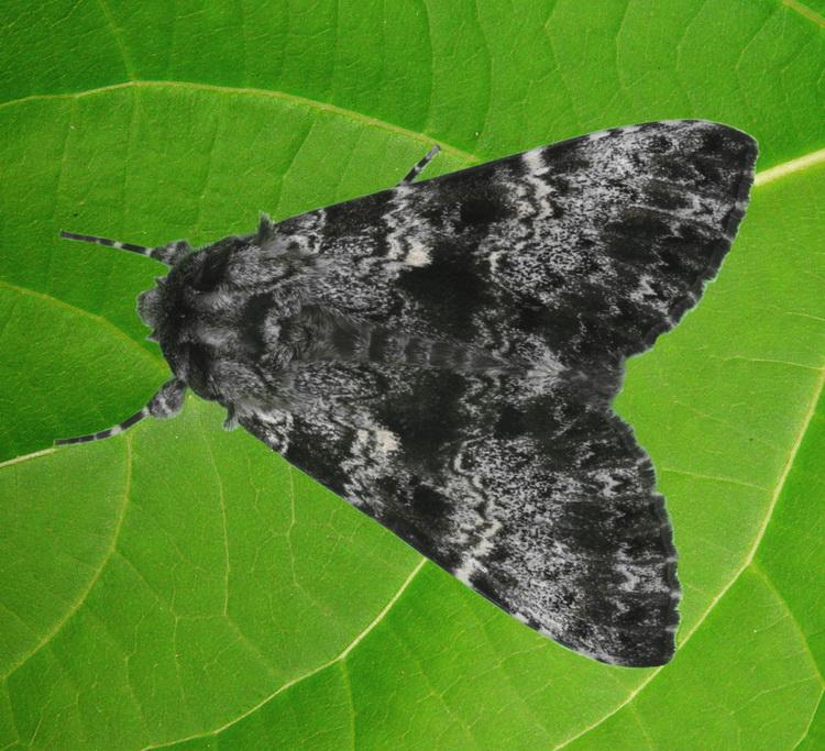 Lymantria atemeles 1