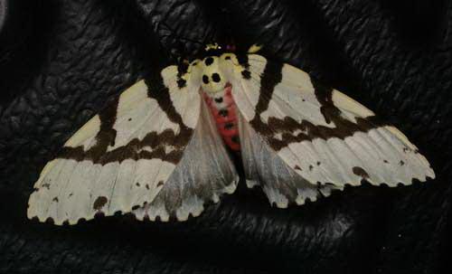 Lymantria narindra