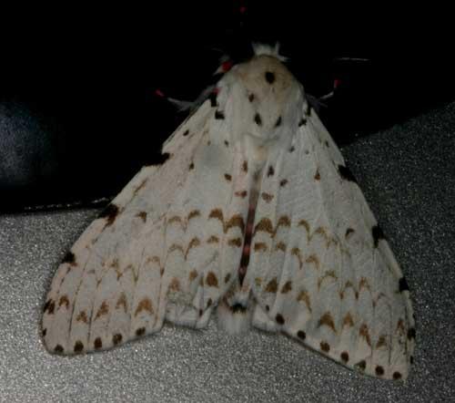 Lymantria sp 1