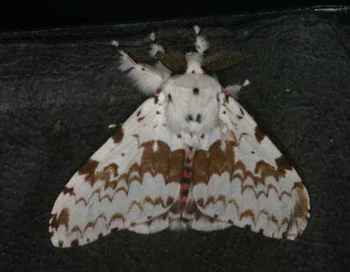 Lymantria sp
