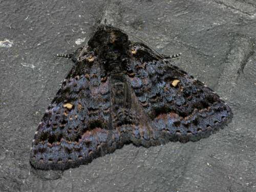 Lymantriinae 1