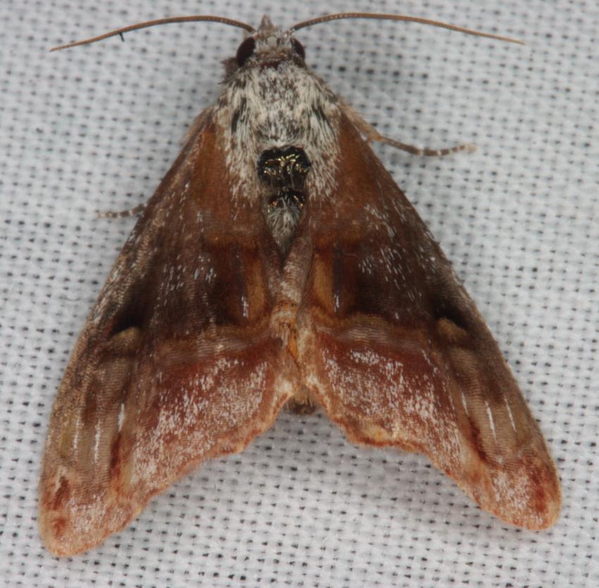 Lymantriinae possibly 1a