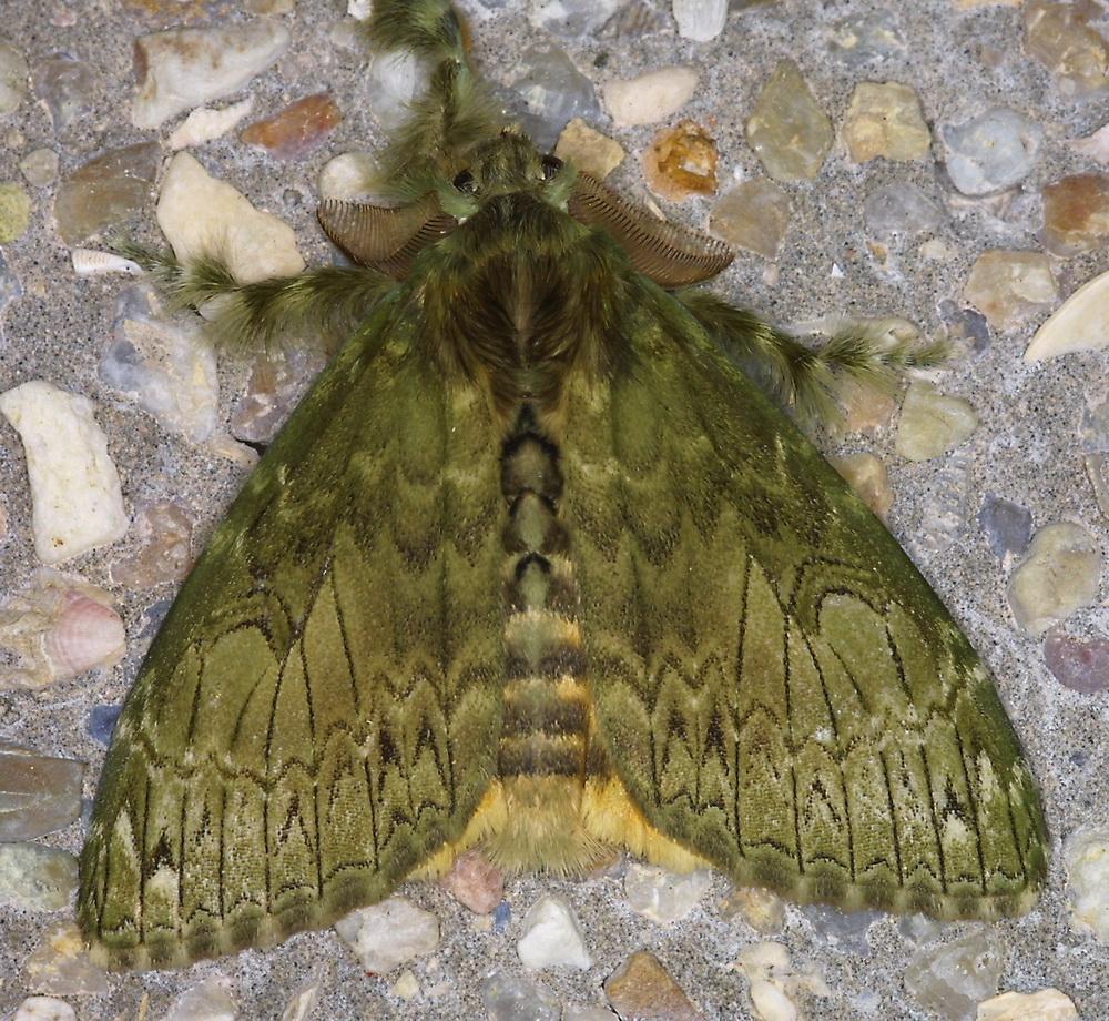 Lymantriinae possibly 2a