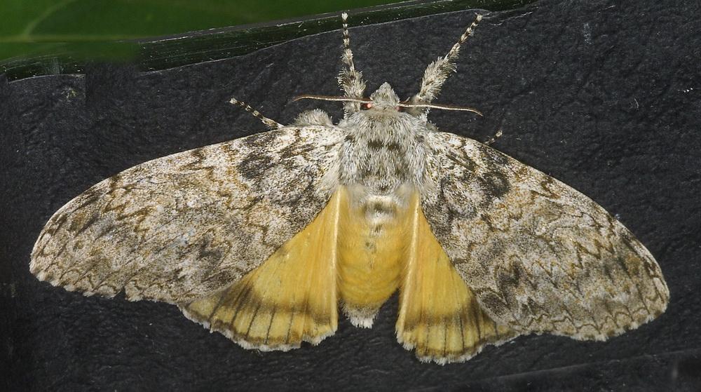 Lymantriinae possibly