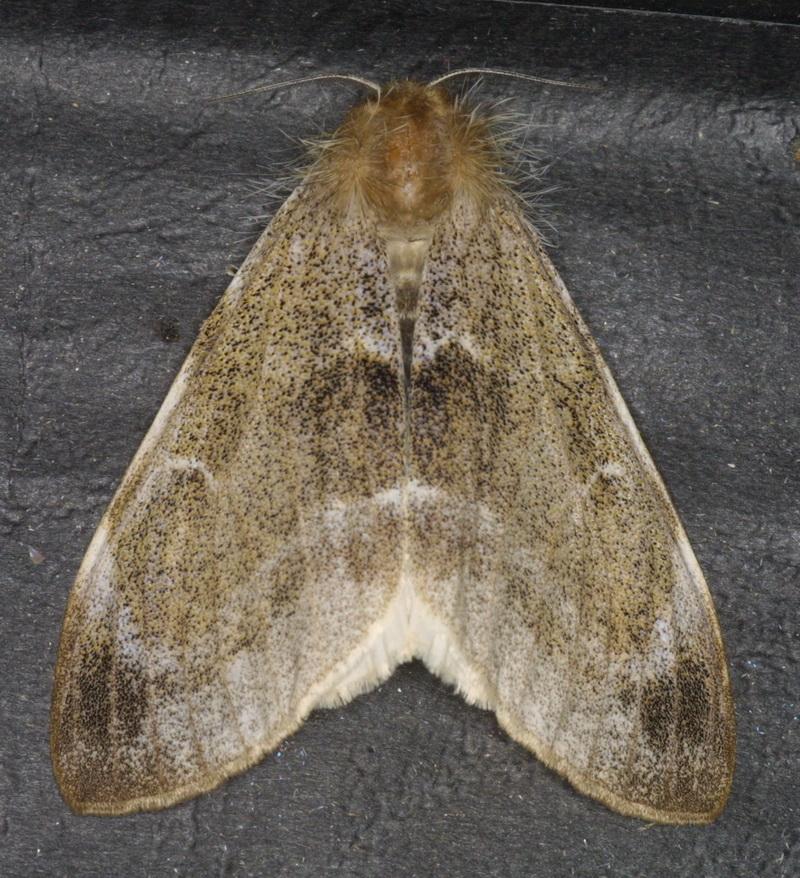Lymantriinae unidentified-10