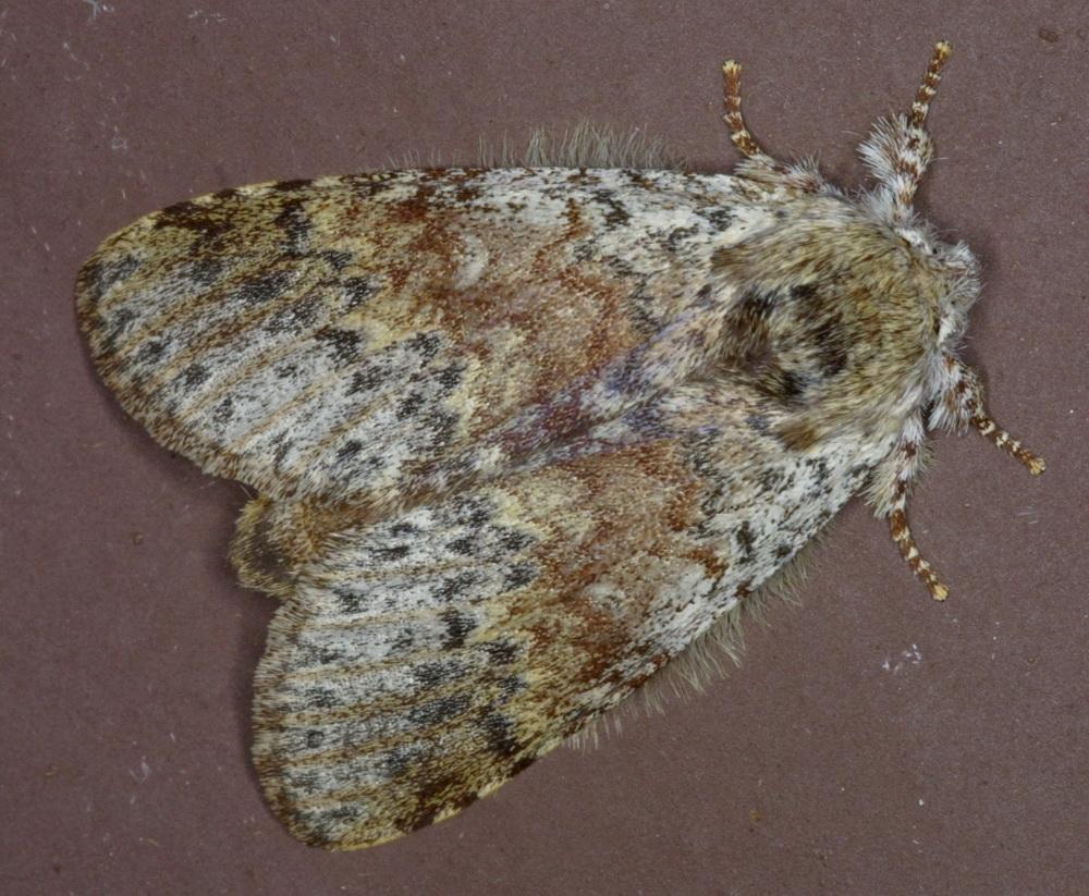 Lymantriinae unidentified-12