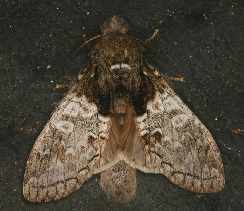 Lymantriinae unidentified