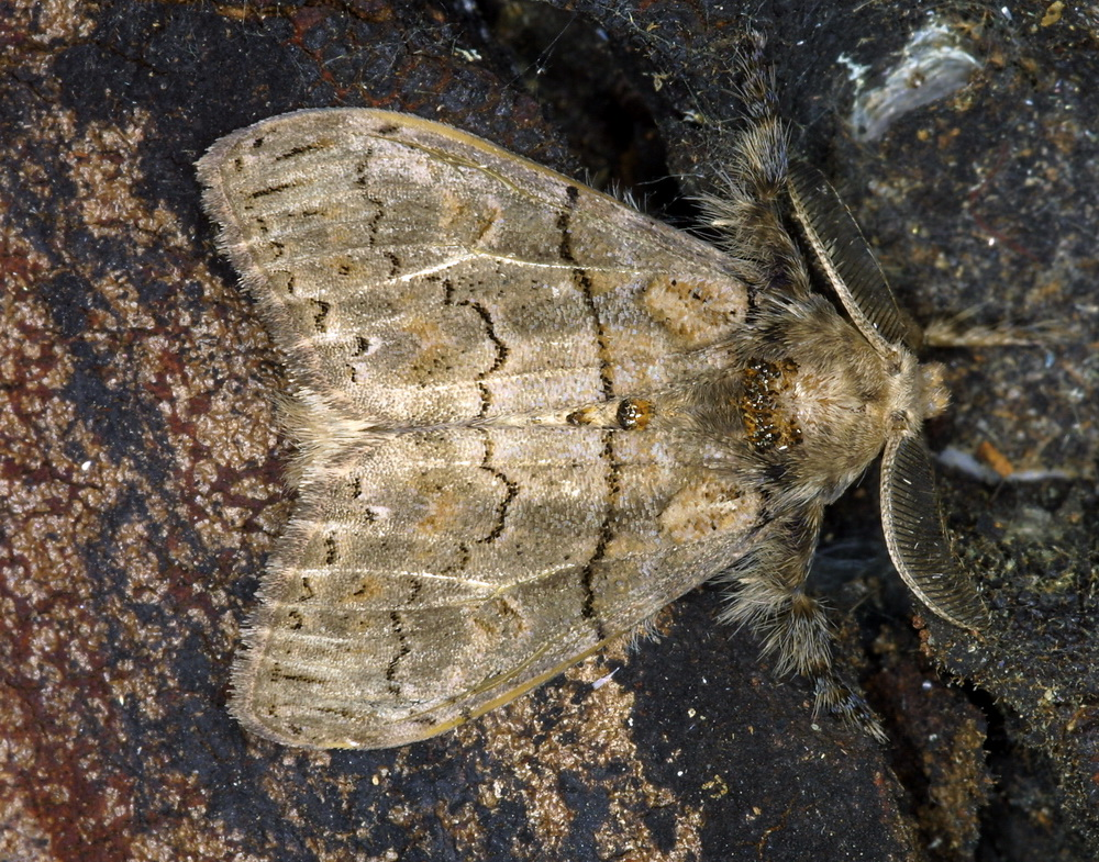 Orgyiini unidentified 2