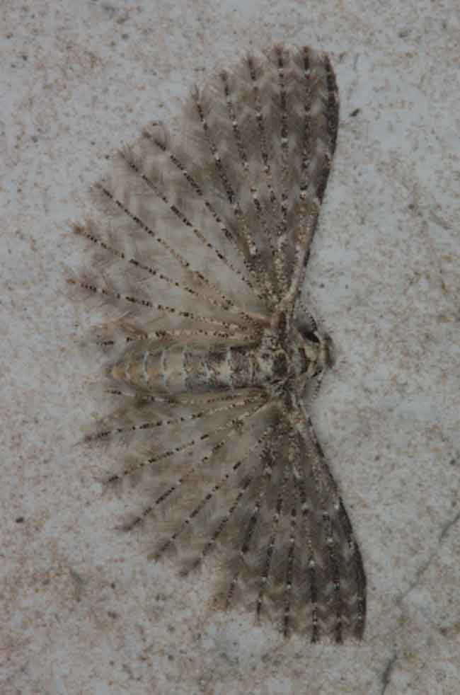 Alucitidae sp (plume moth)