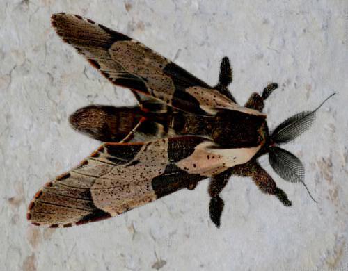 Damata longipennis 2