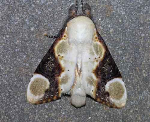 Formofentonia orbifer