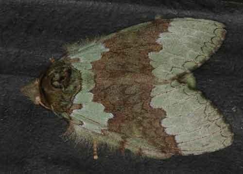 Netria viridescens 1