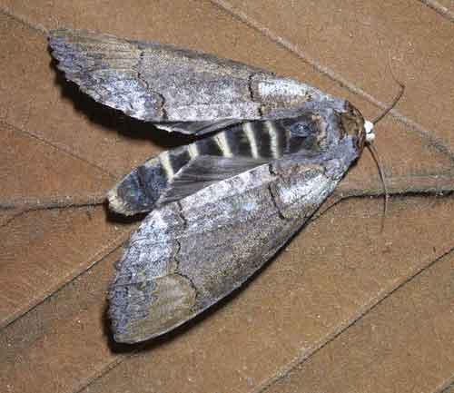 Phalera grotei or parvara