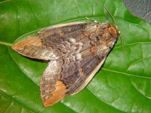 Phalera sp