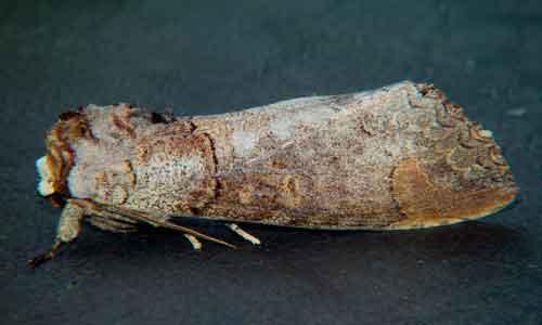 Phalera probably raya Moore or grotei 1