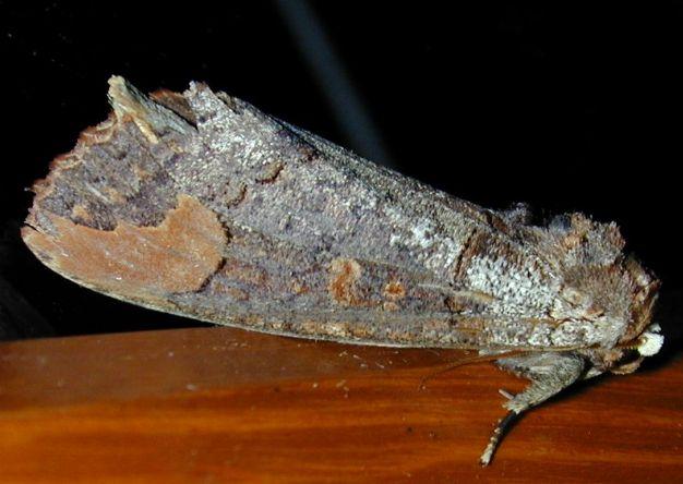 Phalera probably raya Moore or grotei 2