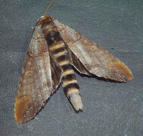 Phalera probably raya Moore or grotei