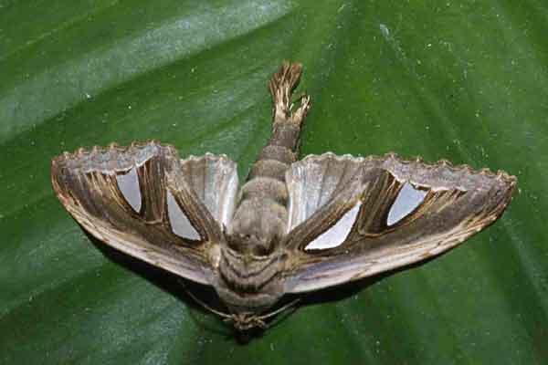 Tarsolepis rufobrunnea