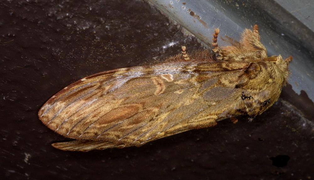 Acmeshachia gigantea